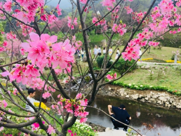 Cherry blossoms on Yangmingshan.