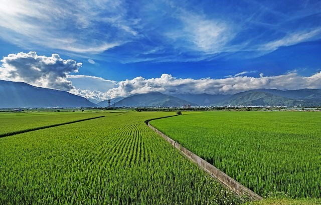 Rice fields in Hualien. (Photo by flickr user William Cho)