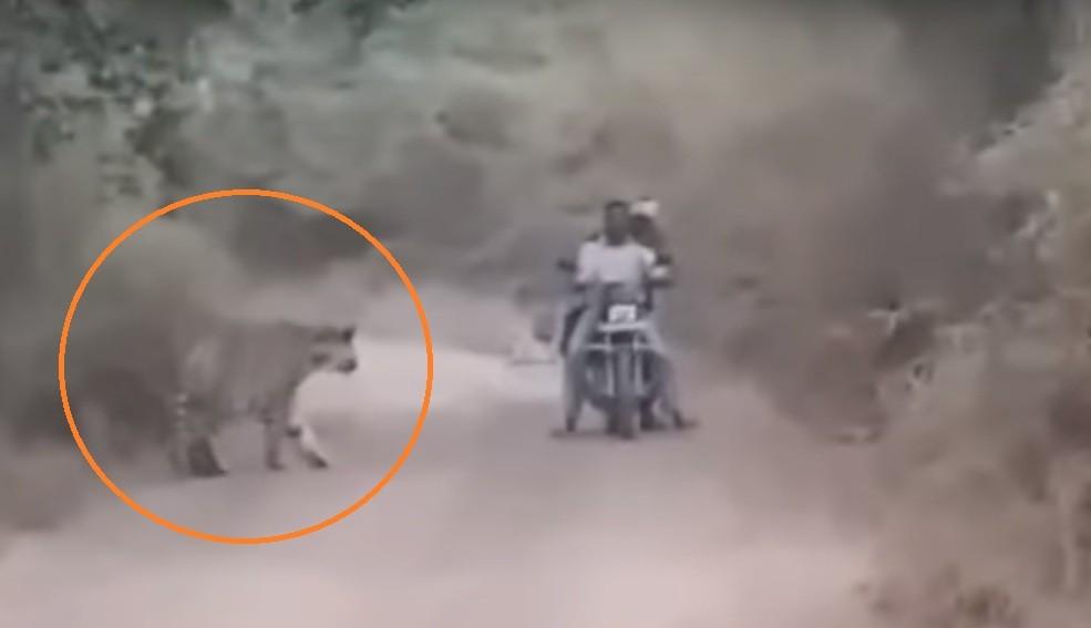 印度日前兩名男子騎車經過老虎保護區,遇到兩頭老虎(圖片翻攝自社群媒體youtube)