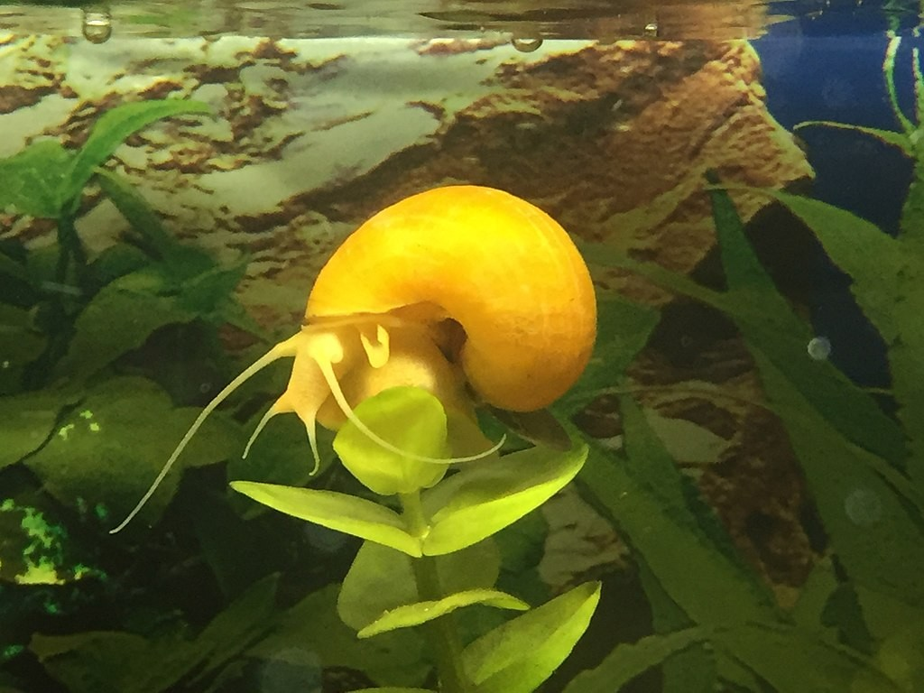 Apple snail (photo courtesy of Chapulines)