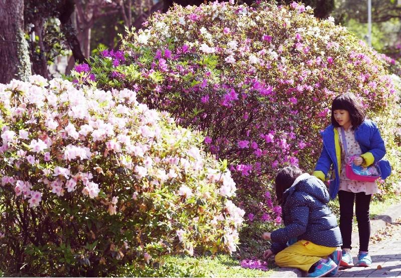 台大杜鵑花節已在昨(10)日登場,民眾可利用週日好天氣前往賞花。 中央社