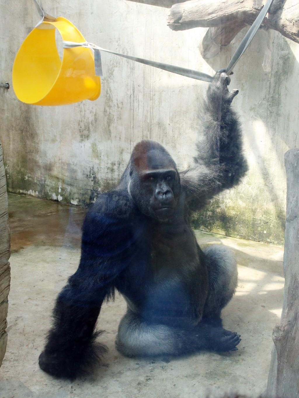 Mayor Ke wishes Baby, Taiwan's favorite gorilla, bon voyage
