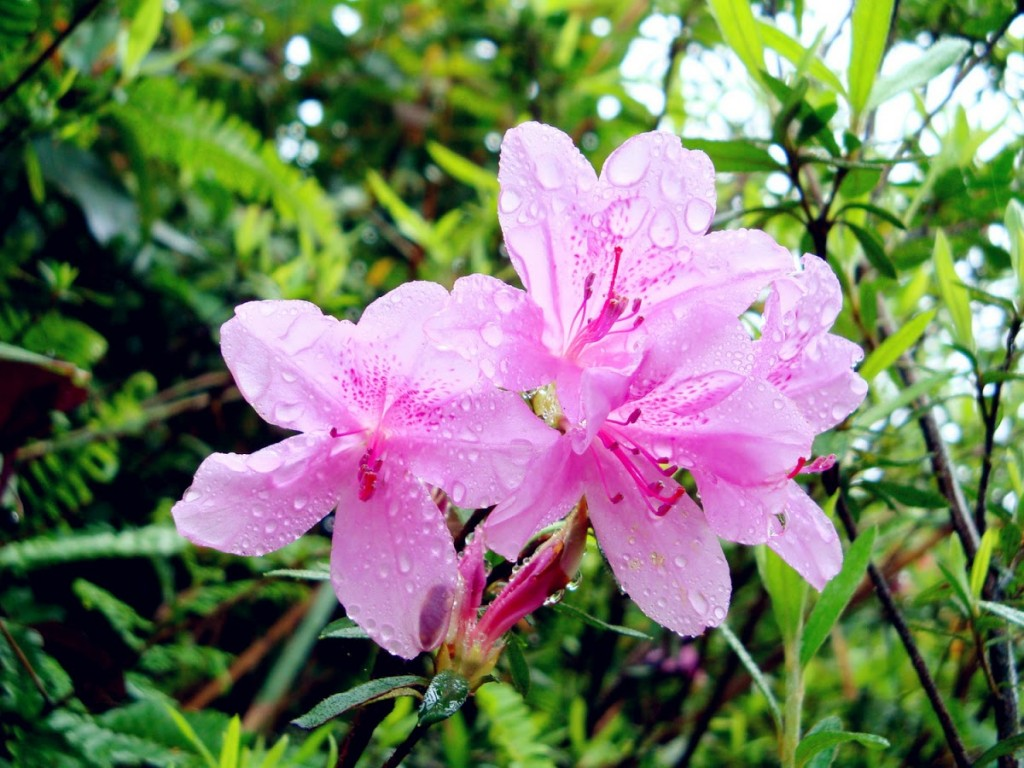 Wulai's pink azaleas are perfect selfie fodder. (Image from New Taipei City Government website)