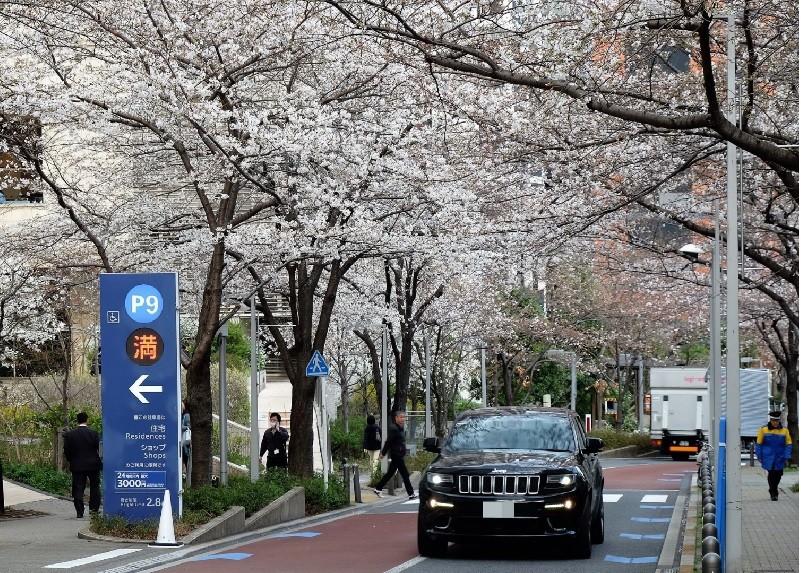 東京六本木櫻花。中央社
