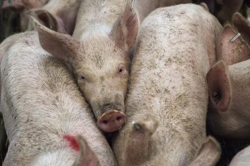 中國對美豬肉、水果等商品採取關稅報復(圖/Pixabay)