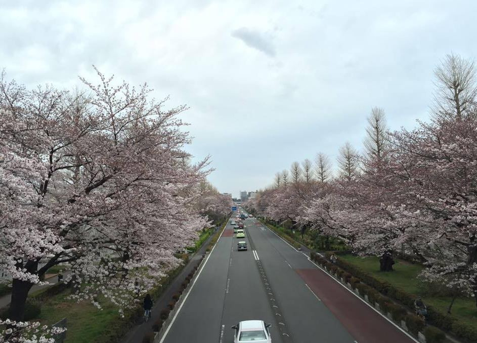 東京國立市大學路盛開之櫻花(吳東文攝影)