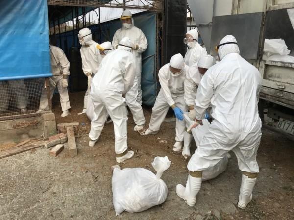 台中一處土雞場發生禽流感,撲殺千餘隻土雞。(圖:動保處提供)