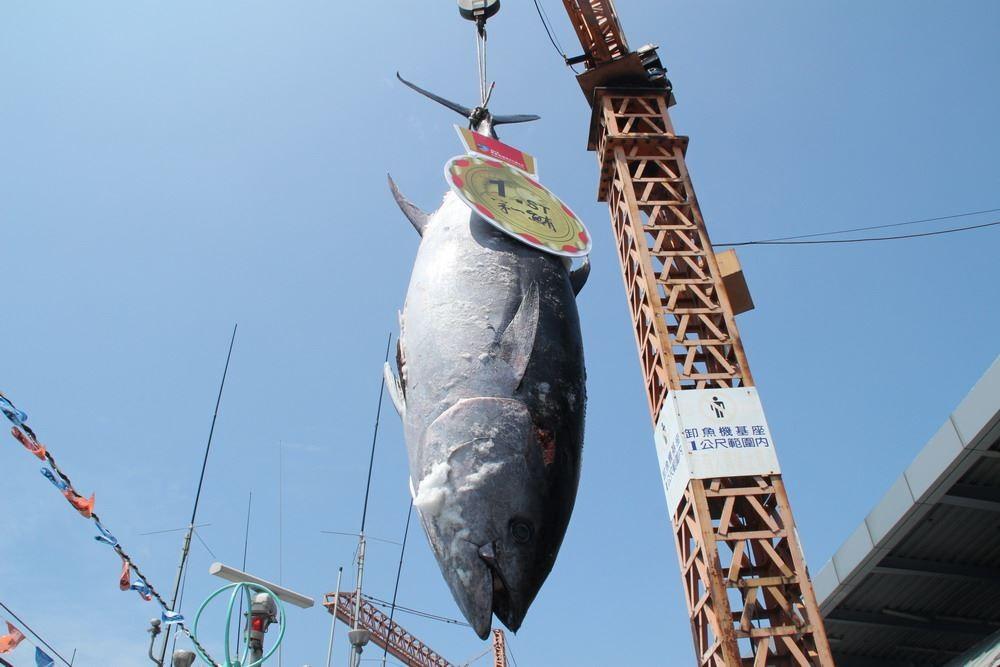 今年的「第一鮪」由東港籍漁船魚來滿6號捕獲(屏東縣政府提供)