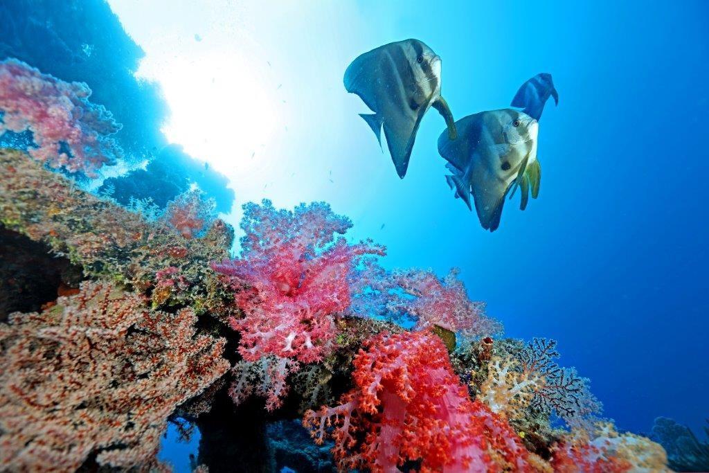 尖翅燕魚(鯧仔)與棘穗軟珊瑚。(照片由漁業署提供)