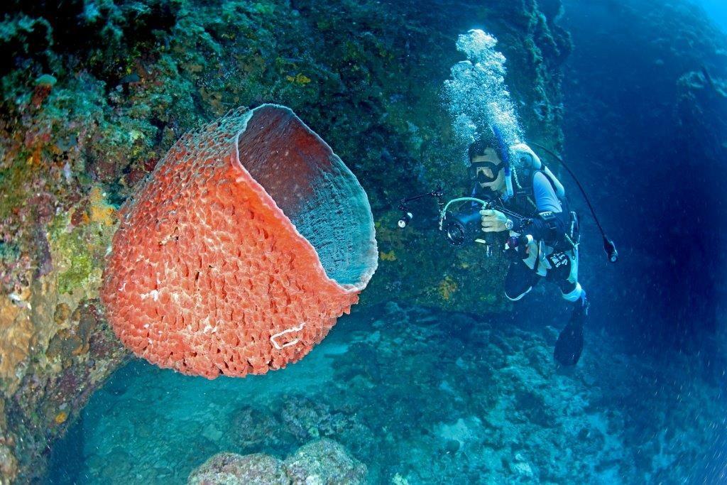 桶狀海綿。(照片由漁業署提供)