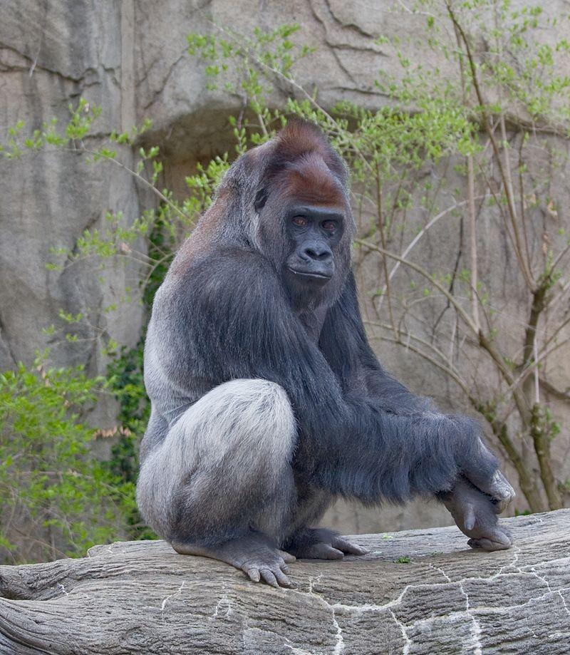 大猩猩 (Gorilla gorilla gorilla)