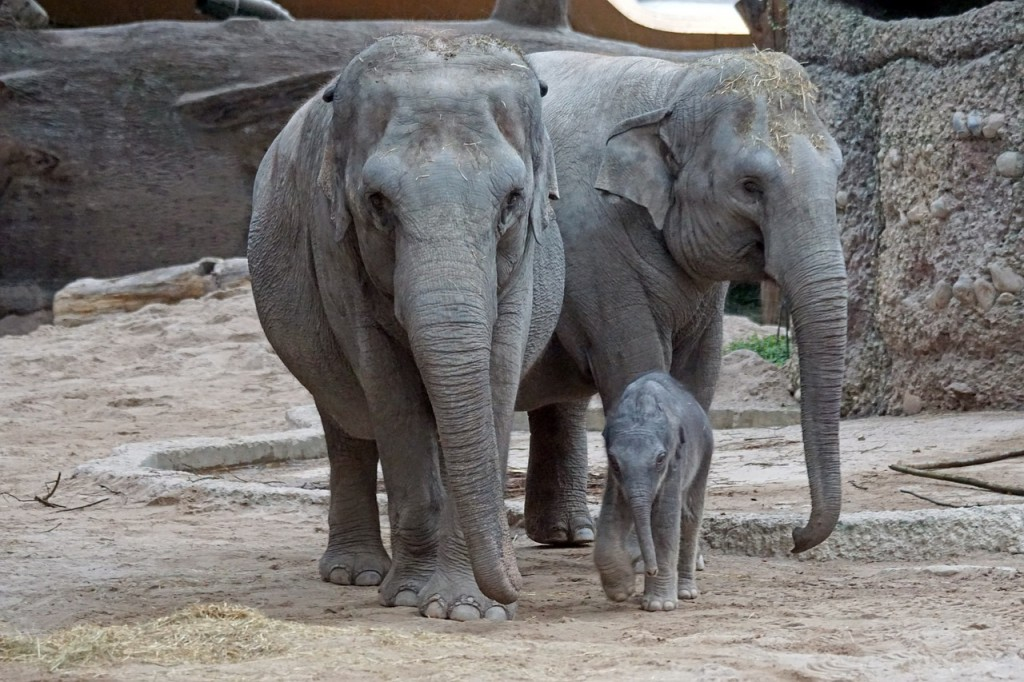 Elephas maximus(pixabay)