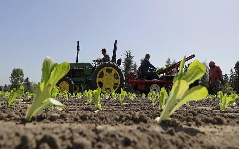 美國華盛頓州一處蘿蔓農場(美聯社)