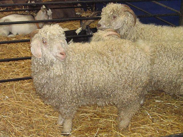 安哥拉山羊