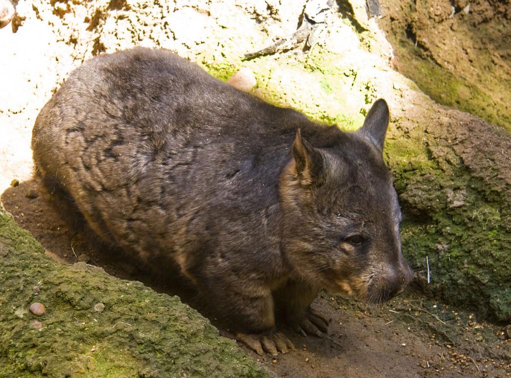 Southern Hairy-nosed Wombat (Jason Pratt / https://www.flickr.com/pho...