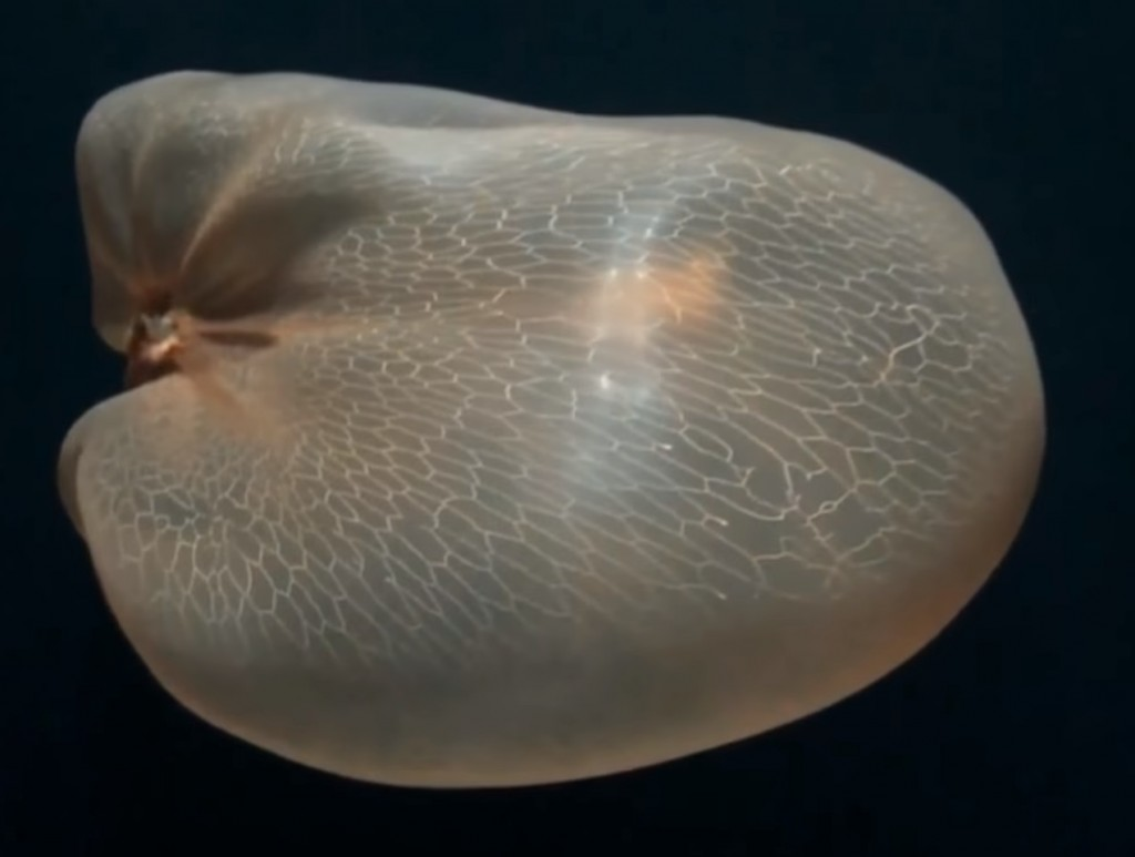照片擷取自NautilusLive Nov 14 - Stunning Deepstaria Enigmatica jellyfish!