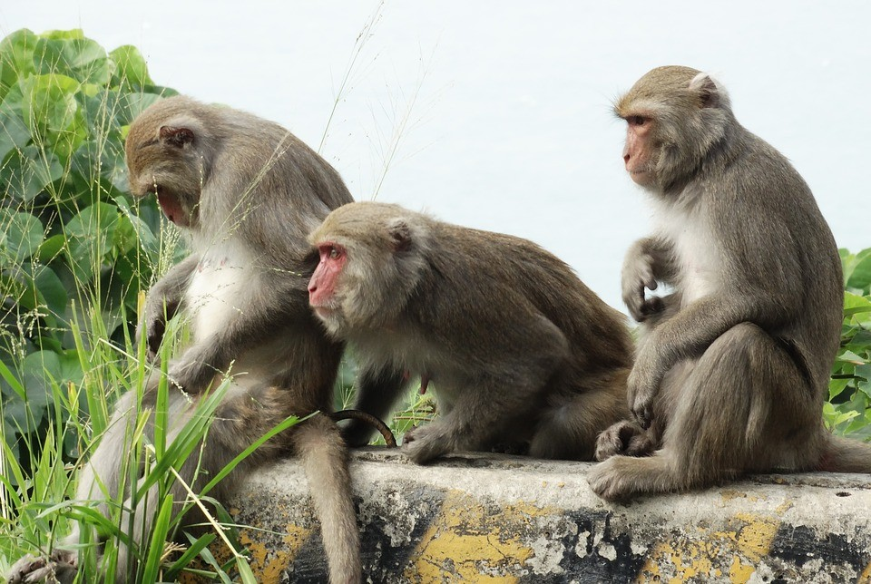 Protection mandates caused Taiwan's macaque population to become a threat. (Image from Pixabay)
