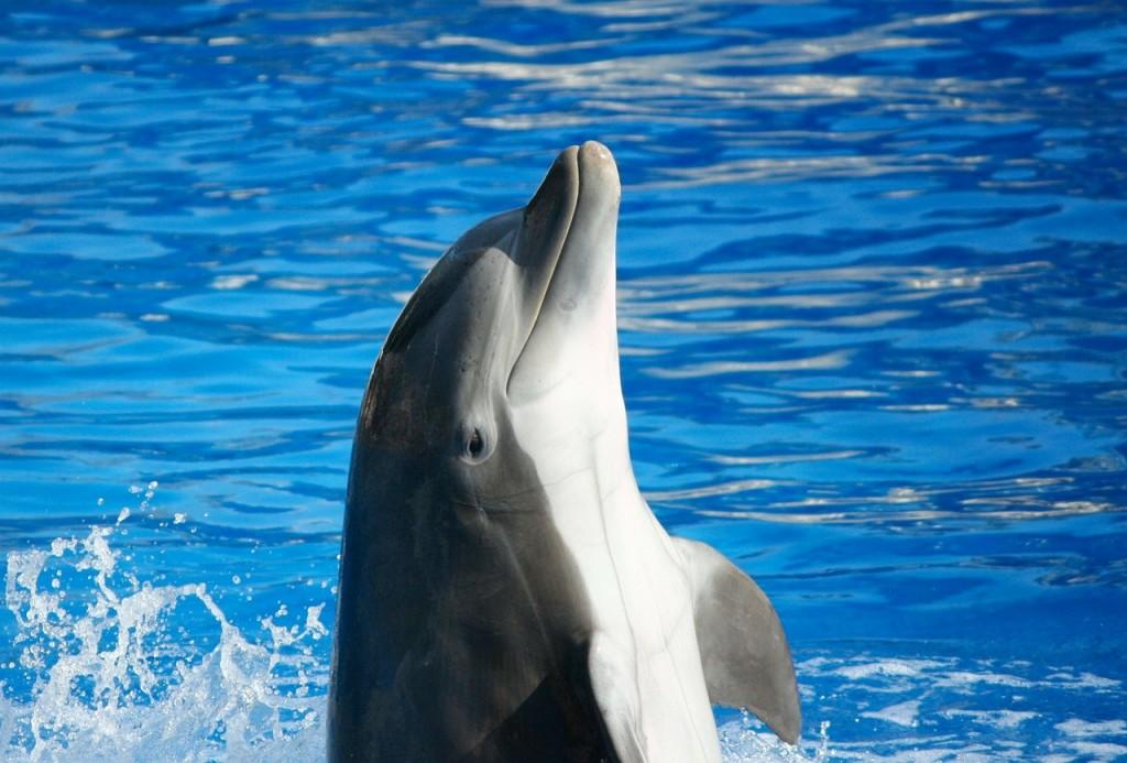 示意圖,非文中描述之間諜海豚。(pixabay)
