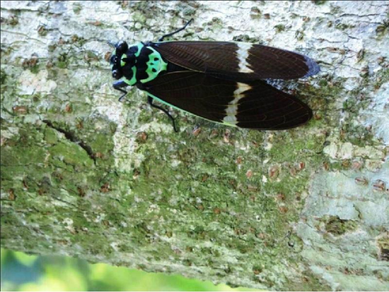 「台灣爺蟬」因身體和前後翅都是黑色,堪稱是蟬界的「黑美人」。(照片來源:嘉義林管處)
