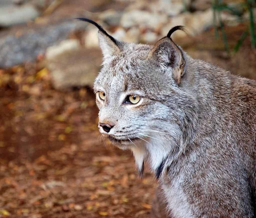 加拿大猞猁 (By Art G. - originally posted to Flickr as Canadian Lynx, CC B