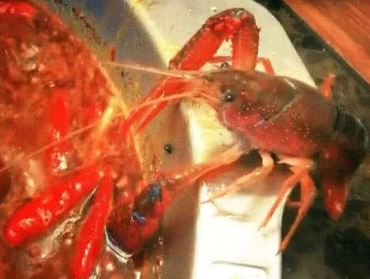 Crayfish escapes spicy stew. (Screenshot from Facebook group 抖音)