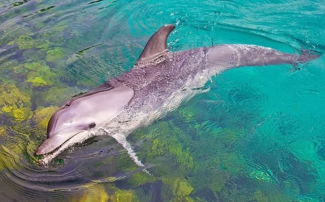 Bottle nose dolphin (Flickr.com user: Phil Long)