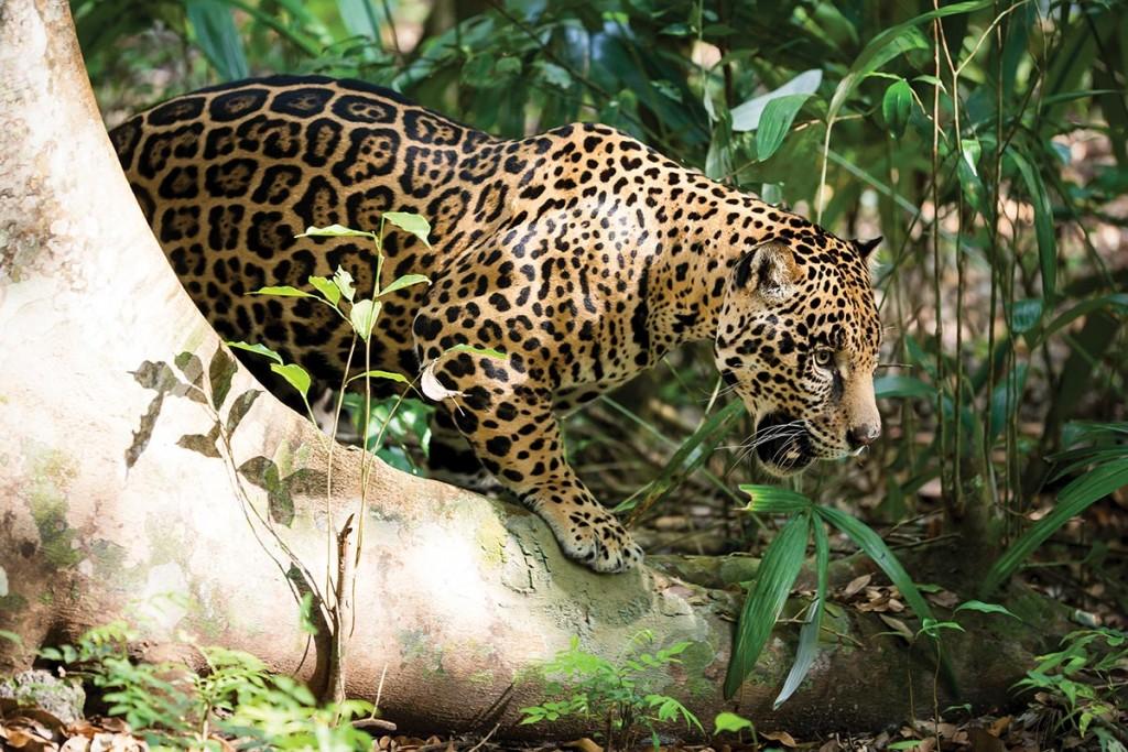 美洲豹 (Panthera onca) (照片來源:世界自然基金會,World Wild Fund, WWF)