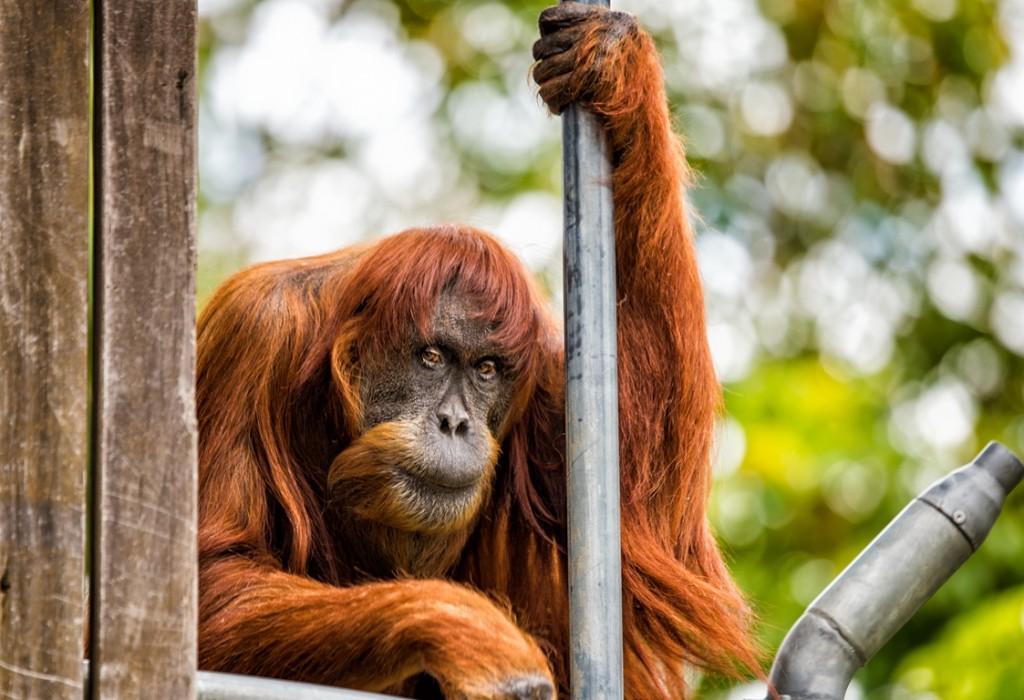 世界最年長的蘇門答臘猩猩普安逝世。(Alex Asbury/ 擷取自伯斯動物園網站)