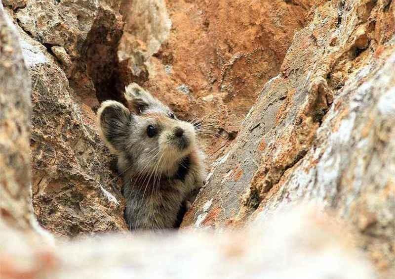 伊犁鼠兔。(照片來源:中國科學院新疆生態與地理研究所的研究人員李維東)
