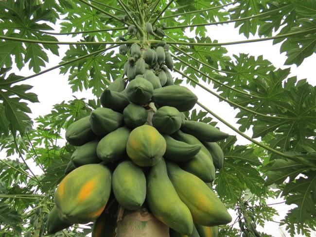 木瓜。(照片由農委會農業試驗所提供)
