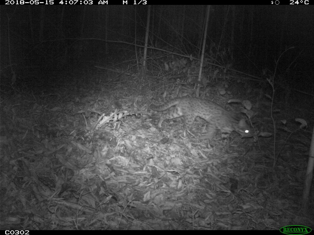 A National Chiayi University student's camera located a leopard cat in Chiayi County.