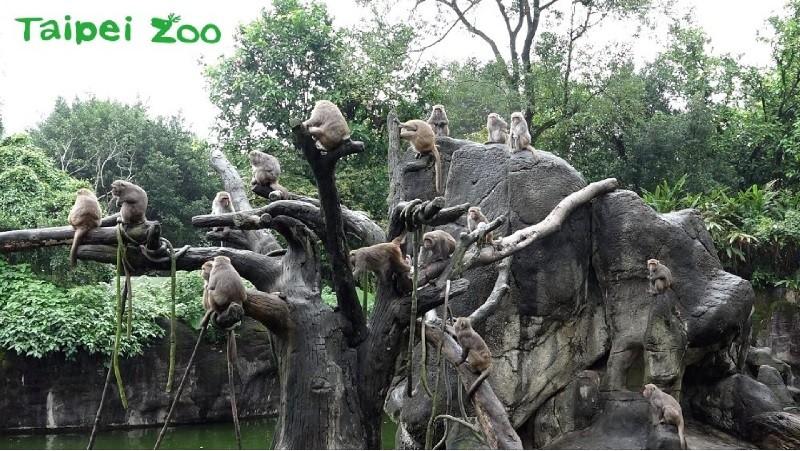 台北市立動物園「獼猴島」。翻攝官網