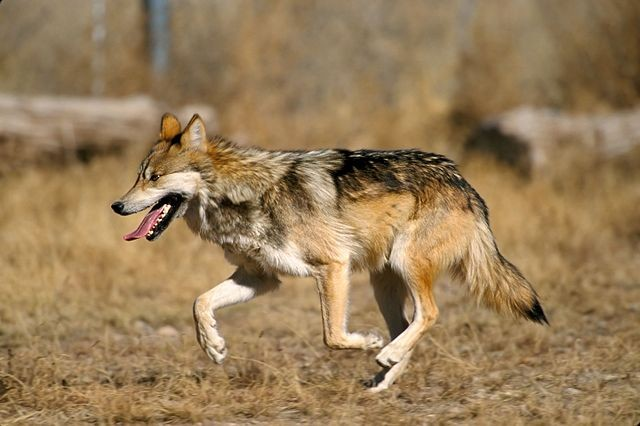 墨西哥狼 (Canis lupus baileyi)