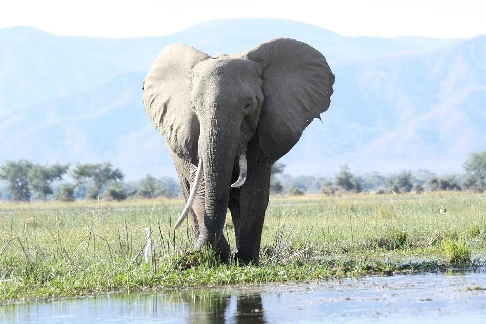 African elephant. (Image courtesy of Pxhere)