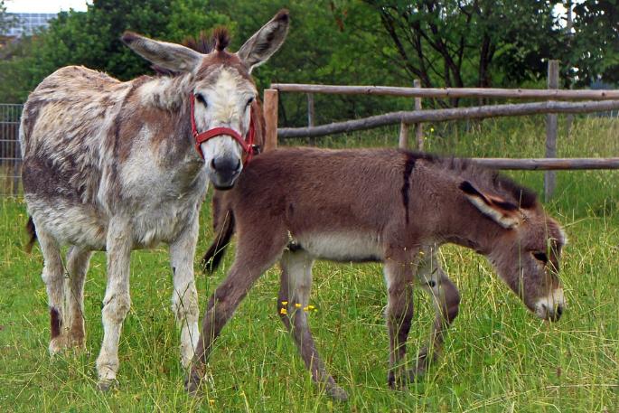 驢子(翻攝自Pixabay)