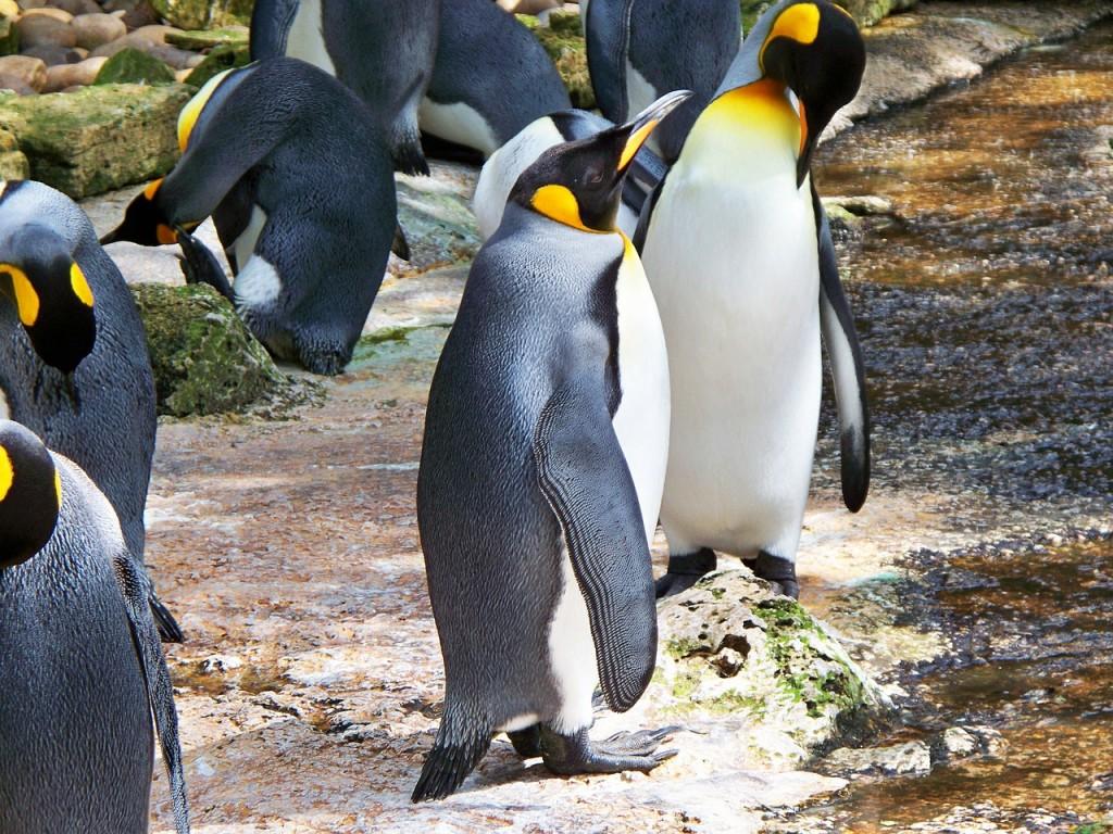 國王企鵝 (Aptenodytes patagonicus)