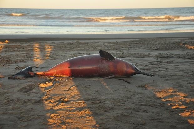 擱淺海豚示意圖 (照片由美聯社提供)