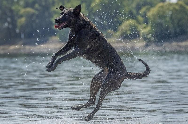 德國犬隻玩水降溫(美聯社)