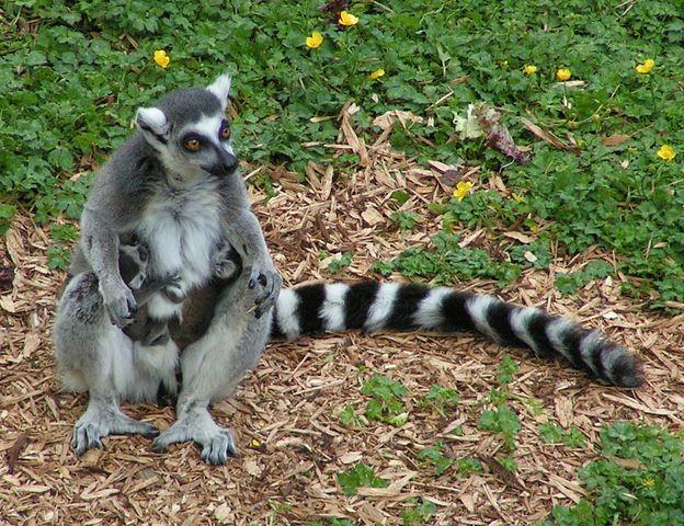 Lemur catta(Sannse/CC BY-SA 3.0)
