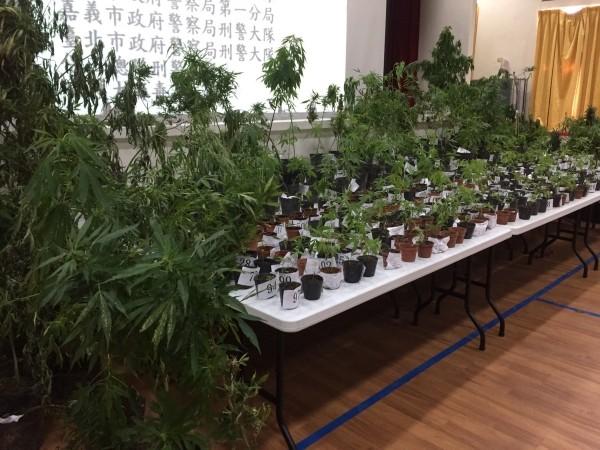 Marijuana plants seized from Teng's field.