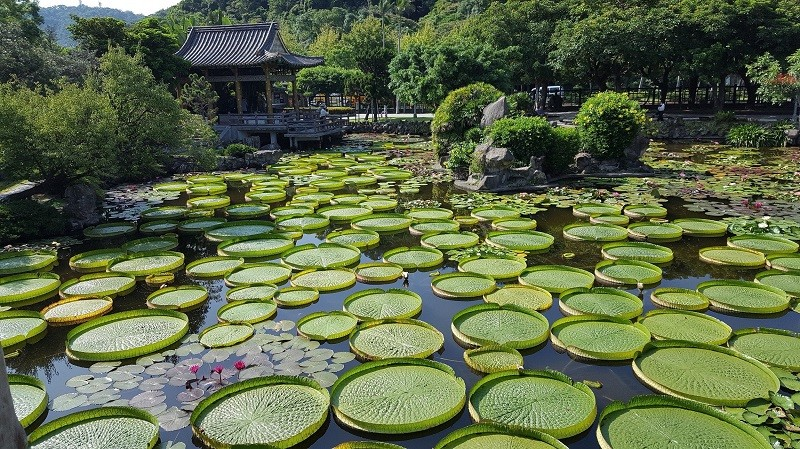 Sitting on giant Victoria water lilies is coming back to Taipei's Shuangxi Park this August