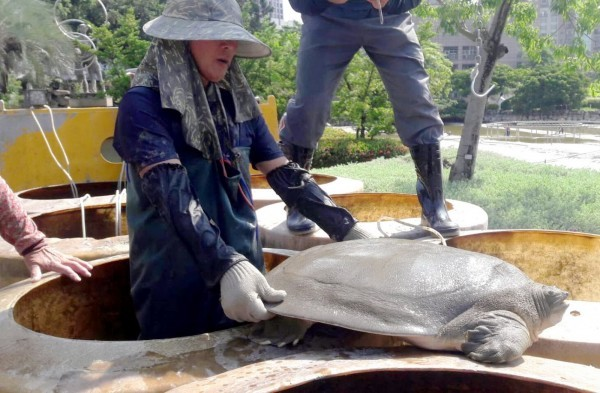 Rarely seen giant softshelled turtle found in Taichung park. (Image from Taichung Construction Bureau)