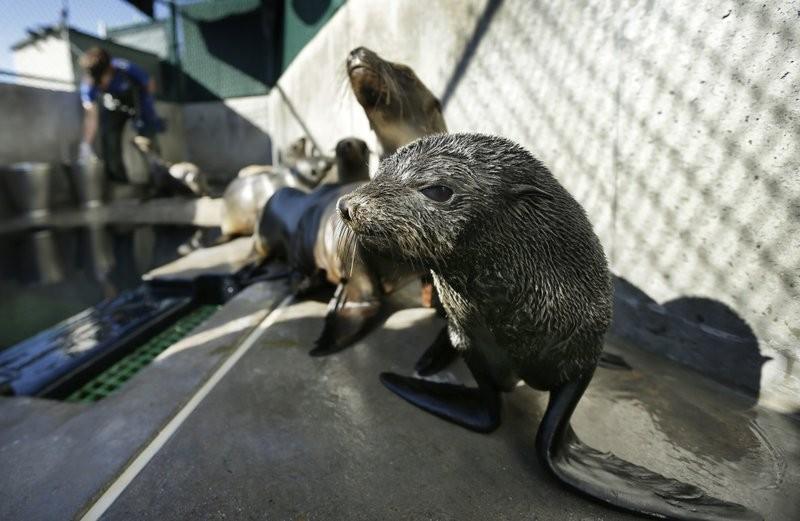 加州聖地牙哥動物救援機構的海獅(美聯社)