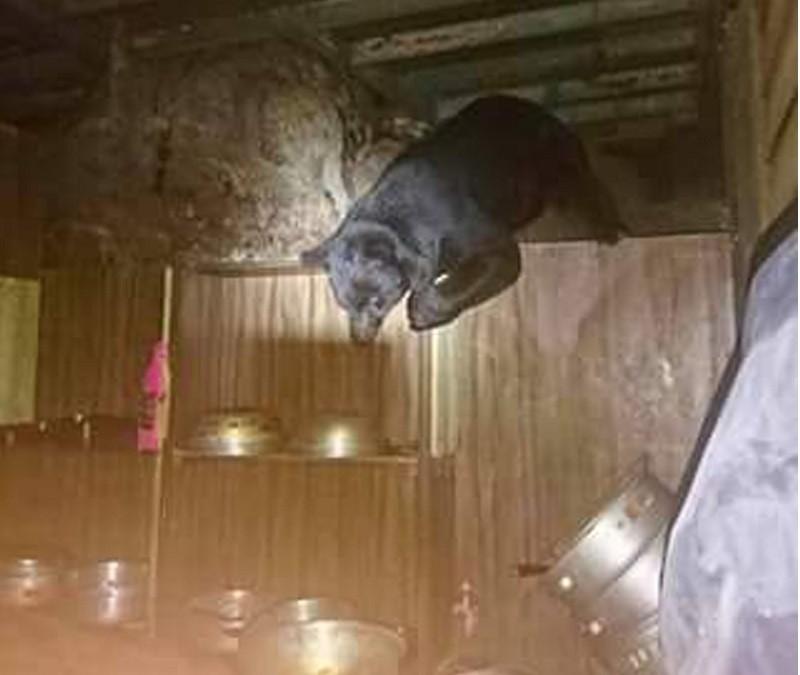 林務局台東林區管理處副處長黃群策20日受訪表示,9日起至今已發現4次台灣黑熊在山屋周邊活動,19日又發現一隻黑熊進入向陽山屋。