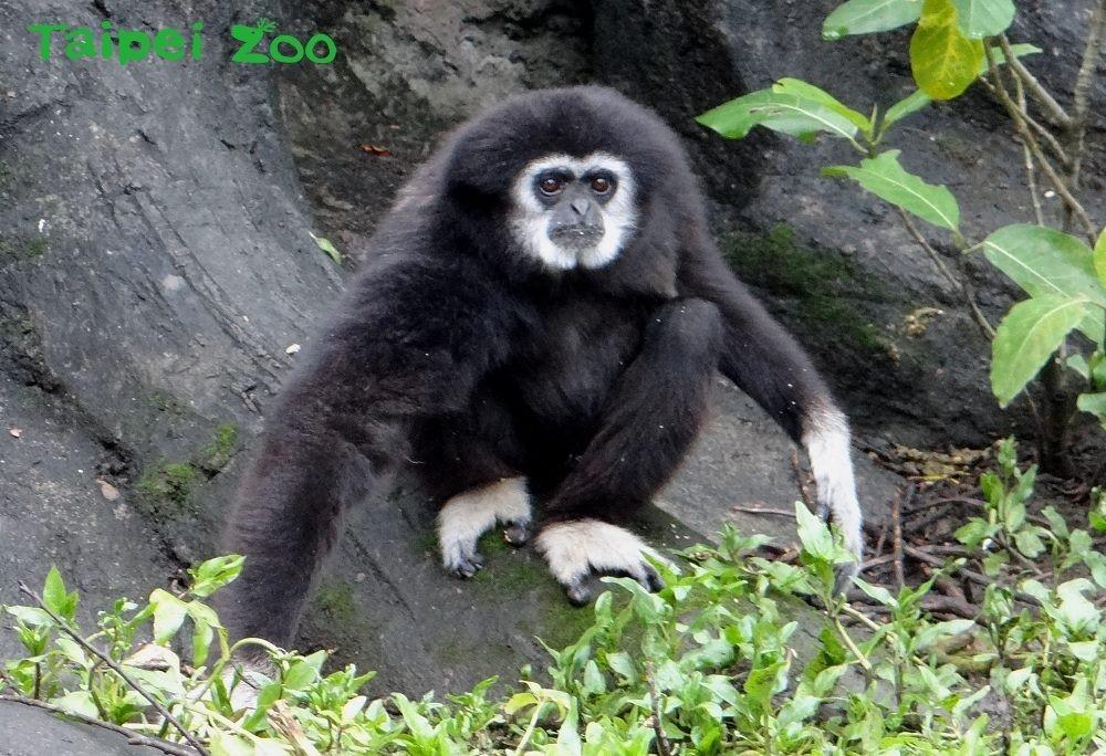 白手長臂猿。(照片來源:台北市立動物園)