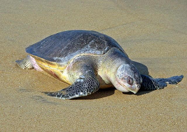 麗龜(Bernard Gagnon / CC BY-SA 3.0)