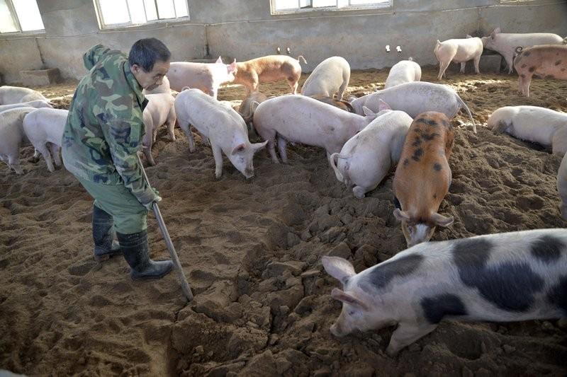 A hog farm in China.