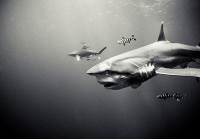 Oceanic White Tip- By: Michael Muller