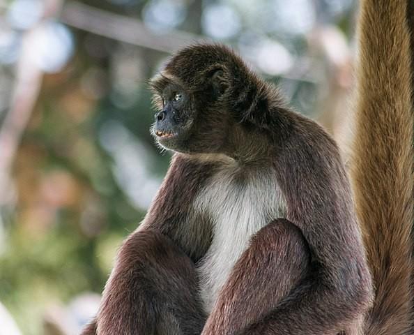 棕蜘蛛猴 (Ateles hybridus / CC BY-SA 3.0)