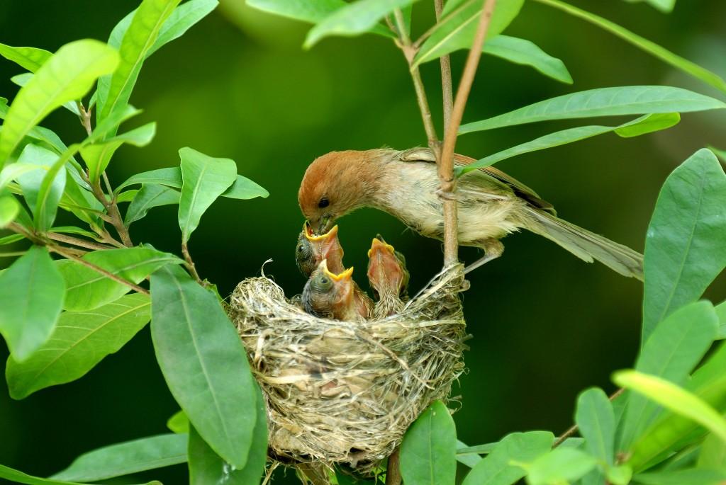 粉紅鸚嘴育雛。(照片來源:農委會 / 王健得攝)